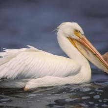 w pelican