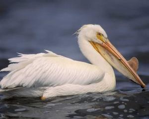 w pelican